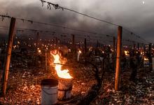 Сибирский зверь. Какие французские вина 2017 года достойны восхищения