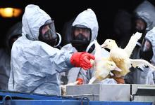 Индейке нездоровится. Птичий грипп обнаружен на площадках «Евродона»
