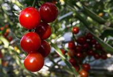 Овощное перемирие. Россия сняла ограничения на ввоз помидоров из Турции
