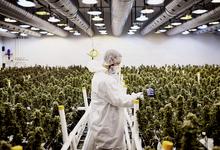 «Как в России в 1990-х»: Йордан и Сачер вложились в производство марихуаны в США