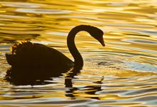 «Черный лебедь» для рубля. Что ждет российскую валюту до конца весны