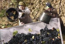 Крым на этикетке. Какой сорт винограда станет визитной карточкой крымского терруара