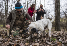 Финал года: собака против свиньи. С кем охотиться за трюфелями