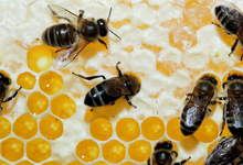 У пчел обнаружен фактор клеточного бессмертия