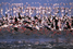 Накуру: заселенное фламинго озеро