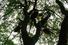Mighty Oak (Англия)