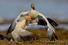Белые гуси. Остров Врангеля