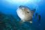 Мола-Мола (Ocean sunfish)