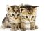 Клонирование домашних животных