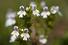 Очанка лекарственная (Euphrasia officinalis)