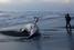 На фото: август 2015 года. Мертвая акула на пляже Пандансимо в Бантуле, Индонезия.