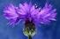 Василек синий (Centauréa cyánus)