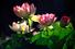 Цветение лотоса, Астраханская область