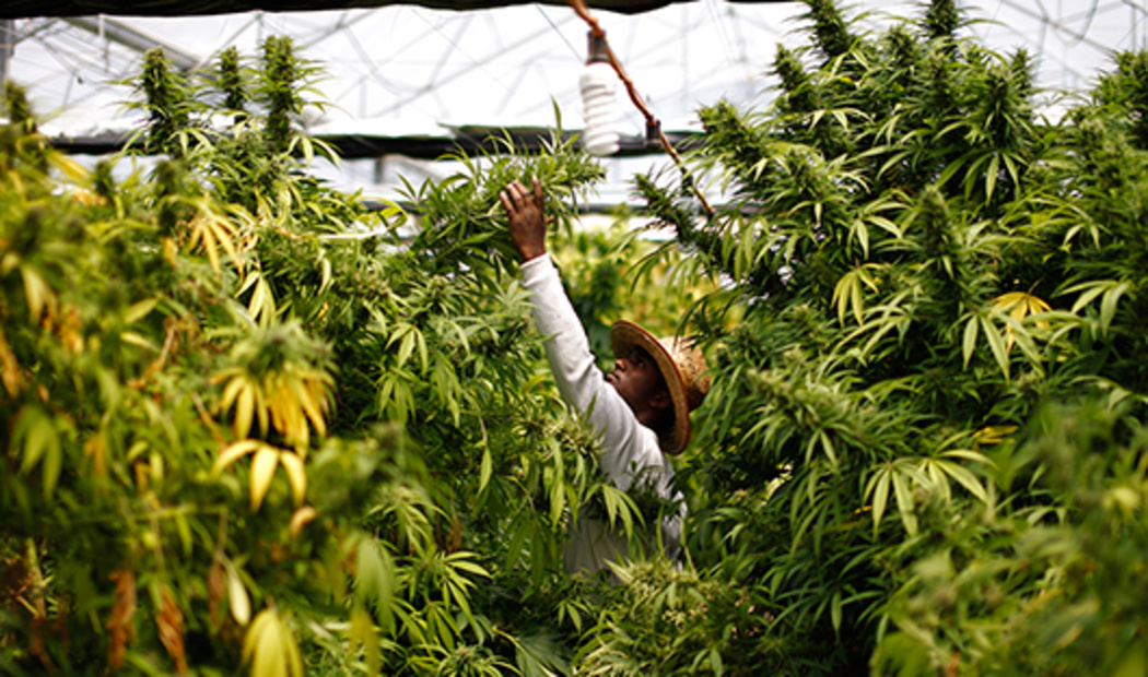 the use of cannabis and its Companies listed cannabis on its' labels that produced the medicines, as required, so worried people could avoid it more than 25 states passed as of today in denver, colorado and a few other states de- scheduling is allowing the use of marijuana for non-medical and recreational use like alcohol.