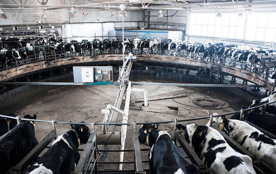 Установка карусельного типа немецко- го производства может одновременно «обслуживать» до 60 коров.