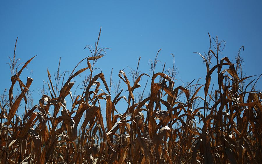 Самоудобряющаяся кукуруза: стартап из MIT угрожает индустрии объемом $80 млрд
