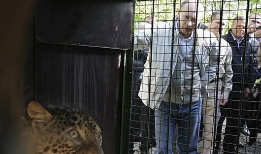 Путин встречает привезенную и Ирана в Сочи самку переднеазиатского леопарда