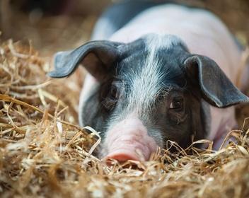 Свиньи и этика: чем опасны новые эксперименты на мозге животных