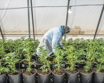 Российские бизнесмены заинтересовались инвестициями в рынок марихуаны