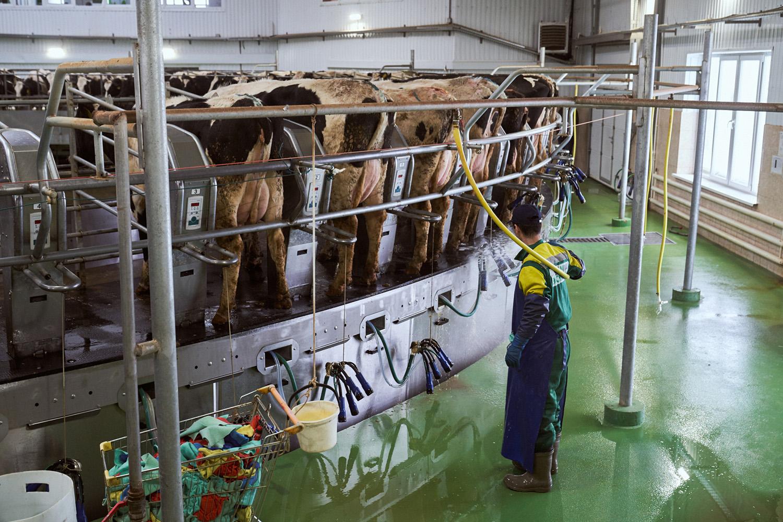 «Эконива» держит 105 000 дойных коров, они дают 3000 т молока в день