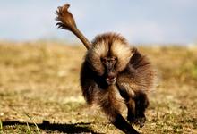Обогнать обезьяну: ген, который мешал бегать