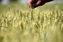 В поле каждый колосок: как фермеров заставляют платить за украденное зерно