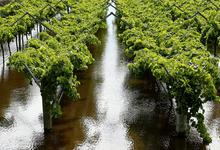 Люди и лозы в опасности: что угрожает виноделию в наступающем году