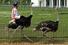 Забег страусов (Чендлер, Аризона, США)