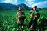 Табачные плантации (Куба)