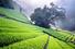 Плантации зеленого чая (Япония)