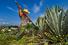 Плантации голубой агавы (Мексика)
