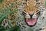 Леопард. Ботсвана