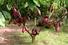 Плантации какао (Коста-Рика)