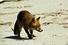 Пляжи Вирджиния-Бич (США): нападения диких лис