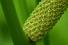 Аир обыкновенный или болотный (Acorus calamus)