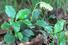 Ортилия однобокая (Orthilia secunda)