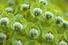 Молочай Палласа или Фишера (Euphorbia fischeriana)