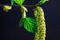 Береза повислая или бородавчатая (Betula pendula)