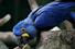 Гиацинтовый ара