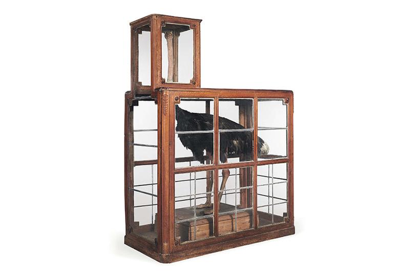Чучело редкого страуса в деревянной клетке, 1785