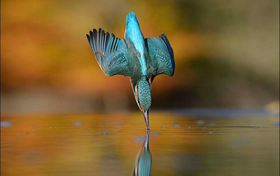 Ныряющий зимородок.