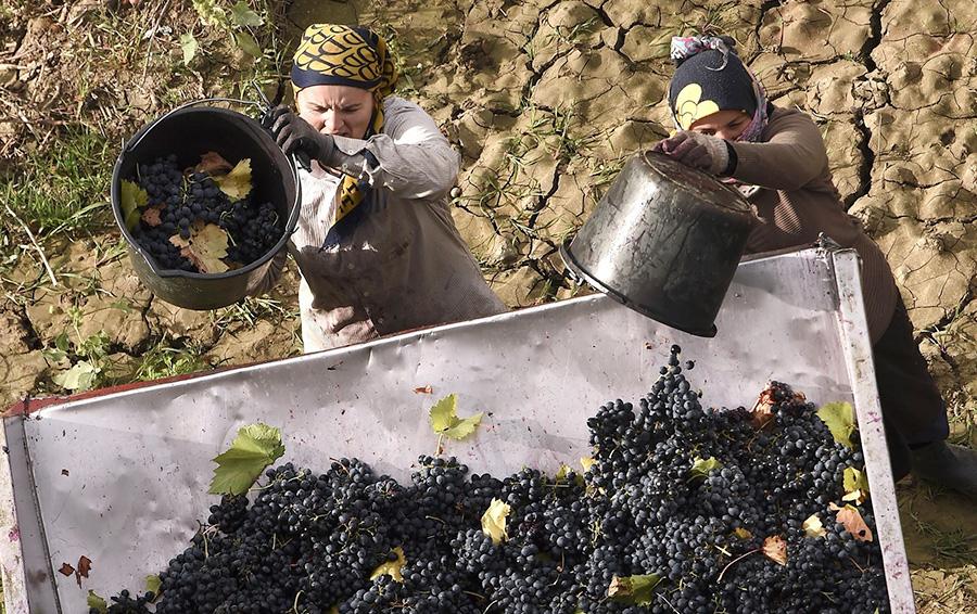 Сбор урожая в Алуште